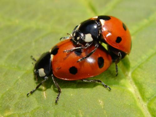 http://www.chris-schuster.com/pics/insects/beetles/lady_bug/medium_coccinella_septempunctata_mating_1.jpg