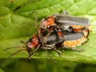 A Cantharis fusca couple copulating