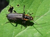 Cantharis paradoxa on a leaf