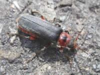 Cantharis rustica on a street