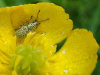 A species of the family Phyllobius on buttercup flower