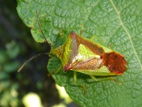 Acanthosoma haemorrhoidale on a leaf
