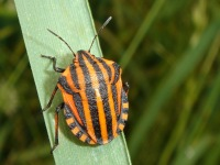 Graphosoma lineatum with very bright red color to deter predators