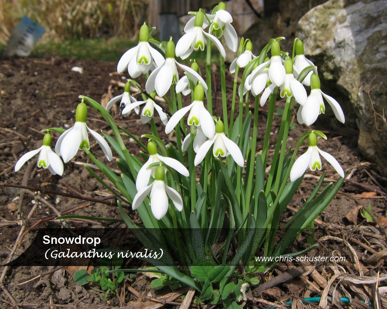 Snow Drop Flower